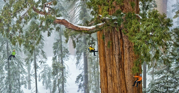 Le Sequoia. Le plus grand arbre du monde